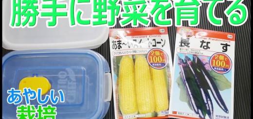 マンションの空地で勝手に野菜を栽培 スイートコーン&ナスpart1 【あやしい栽培】