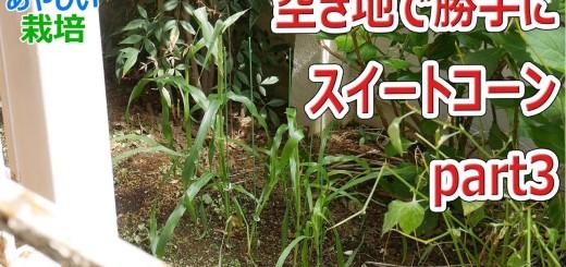 マンションの空地で勝手に野菜を栽培 スイートコーン part3【あやしい栽培 第12回】