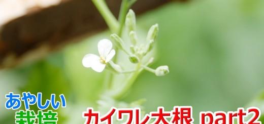カイワレ大根を育てて大根に part2【あやしい栽培 第8回】