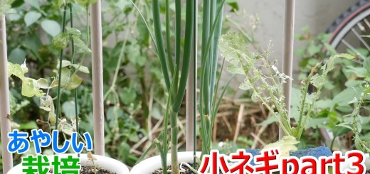 再生栽培で万能ネギ(小ネギ)を育てる part3【あやしい栽培 第7回】