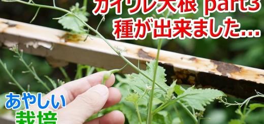 【種できた】カイワレ大根を育てて大根に part3【あやしい栽培 第9回】