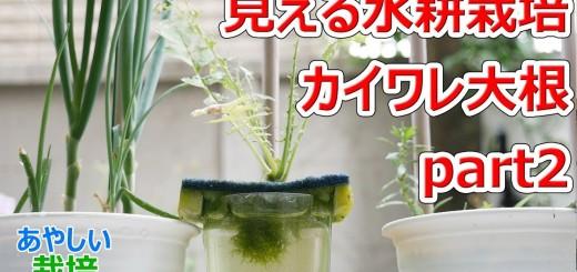 見える水耕栽培 カイワレ大根pt2【あやしい栽培 14回】